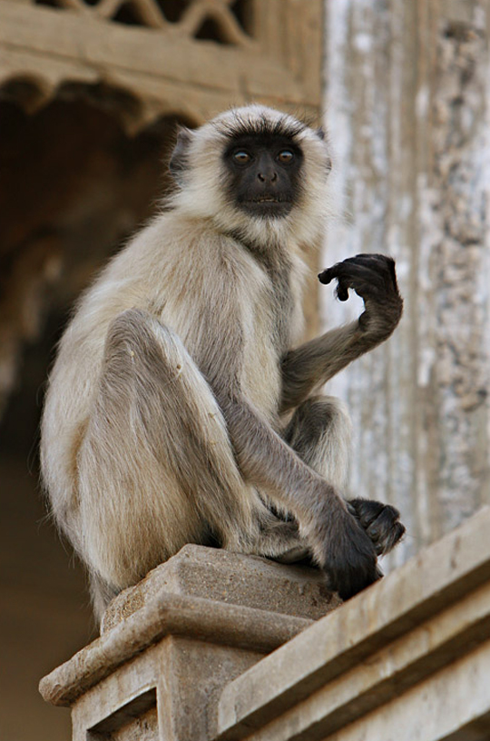 Monkey in udaipur